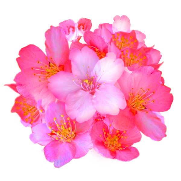 Cherry blossom mass
