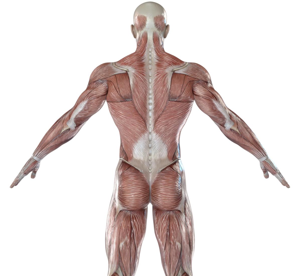 筋肉 図解