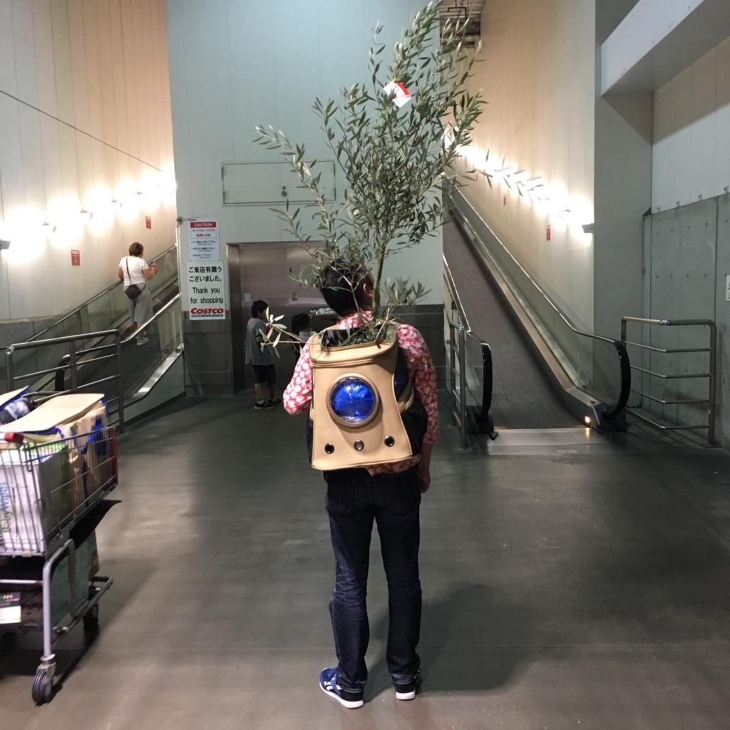 コストコのオリーブ植木鉢が、激安価格3780円で元気&大きいので即買い