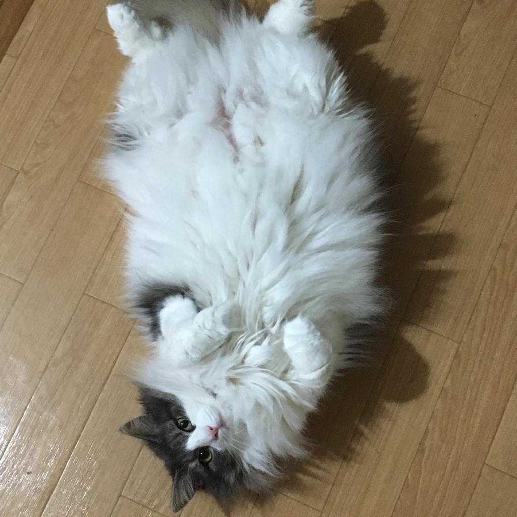 【AIBOとペットは仲良くできるのか?】アイボと、我が家の猫の相性はどう?