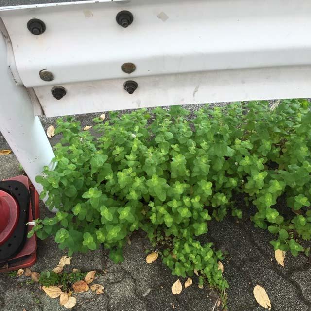 大都会東京では道端にミントが雑草化してるから、タダで手に入る