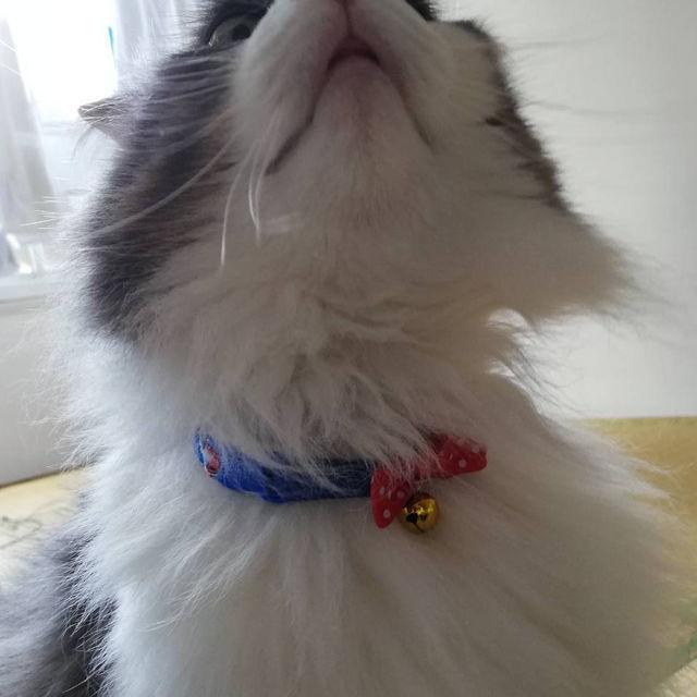 ダイソーの猫首輪に名前と電話番号を書く方法【迷子札代用】