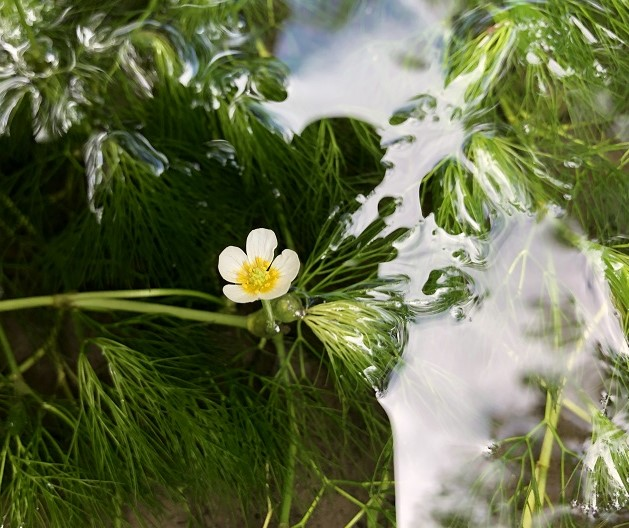 水草が見える水面に、白い小さな花が咲いている写真。