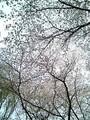 [桜][石神井公園]