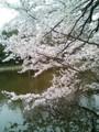 [花][桜][石神井公園]