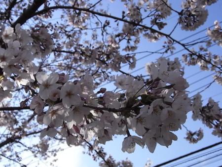 [花][桜]