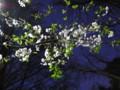 [花][桜][夜景][石神井公園]