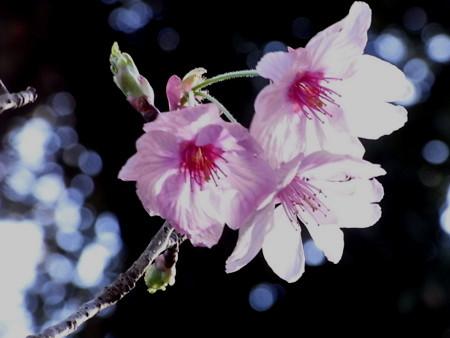 [桜][鎌倉]