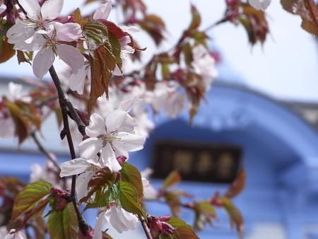 [桜][札幌]