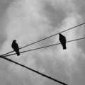 [鳥][札幌][モノクロ]