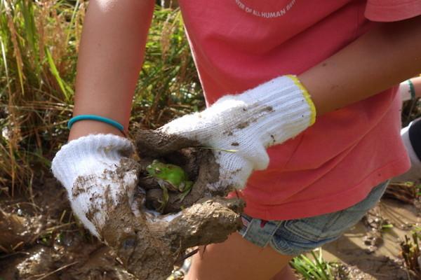 魚沼ゆうきの自然農法の田んぼで見つけたカエル