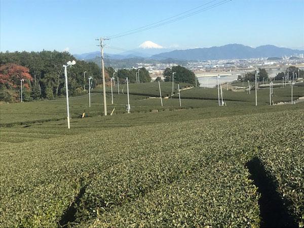 牧之原台地から見下ろす茶畑