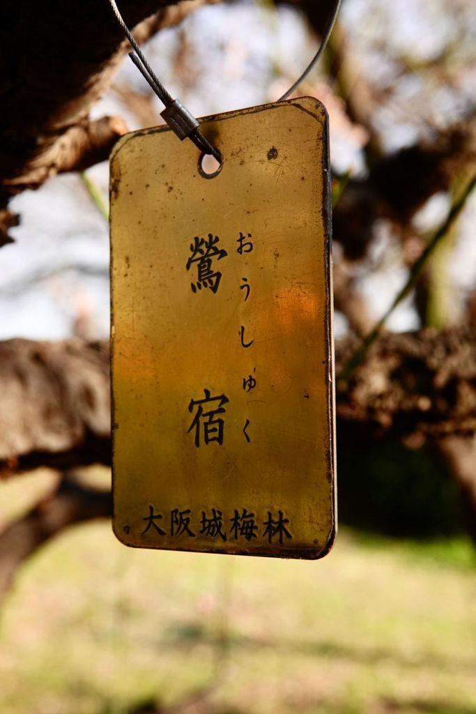 梅の品種-鶯宿(おうしゅく)