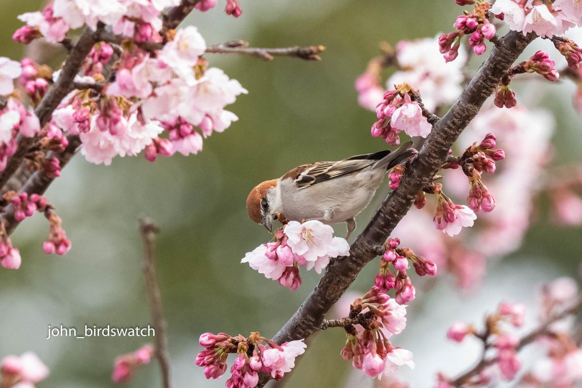 f:id:john_birdswatch:20190408195406j:plain