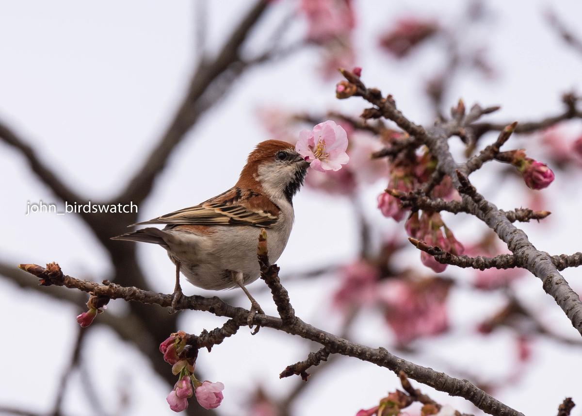 f:id:john_birdswatch:20190408200440j:plain