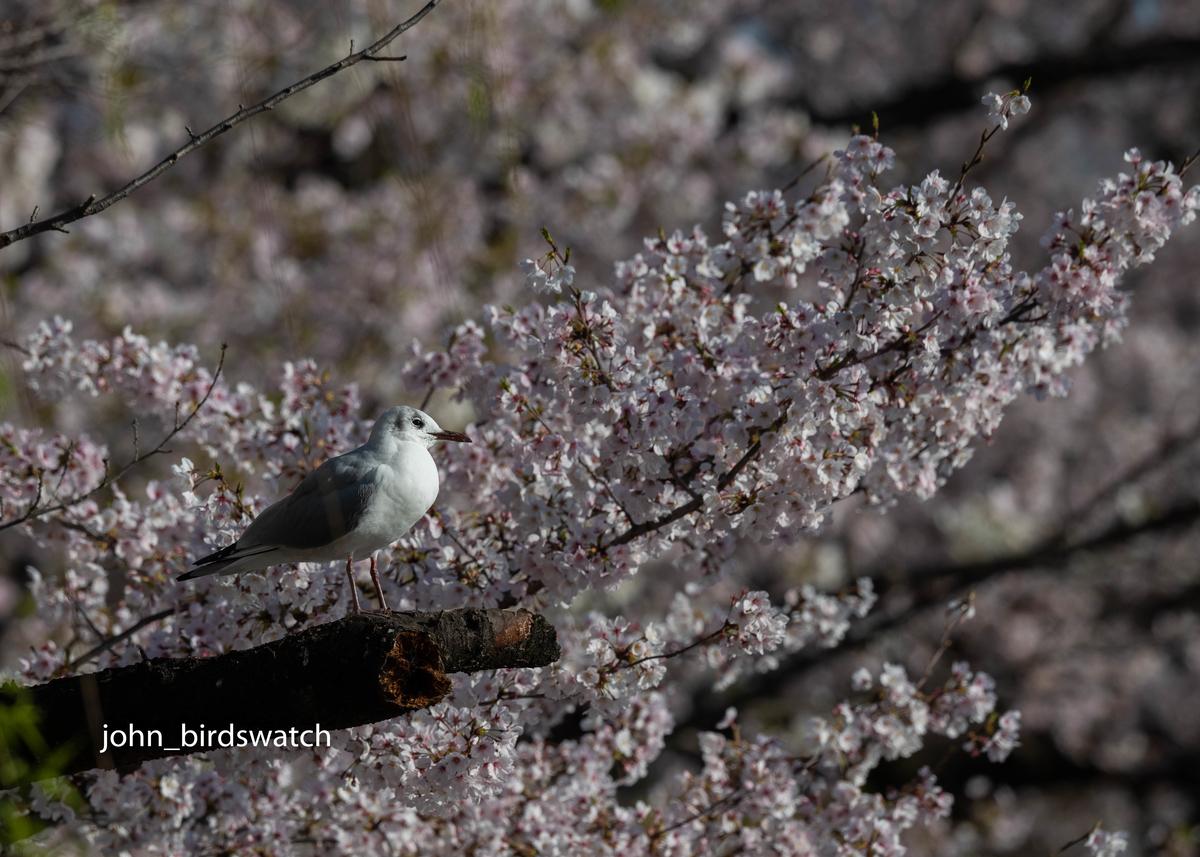 f:id:john_birdswatch:20190414205448j:plain