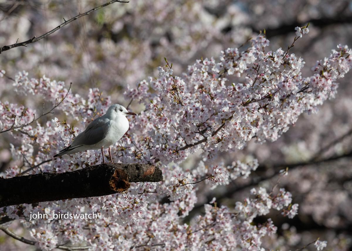 f:id:john_birdswatch:20190414210804j:plain