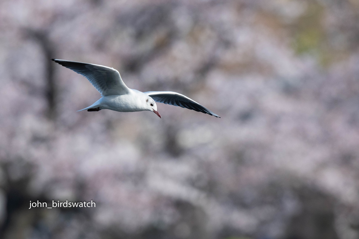 f:id:john_birdswatch:20190414211143j:plain