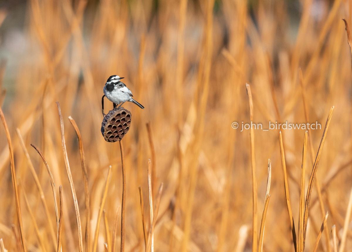 f:id:john_birdswatch:20190414211255j:plain