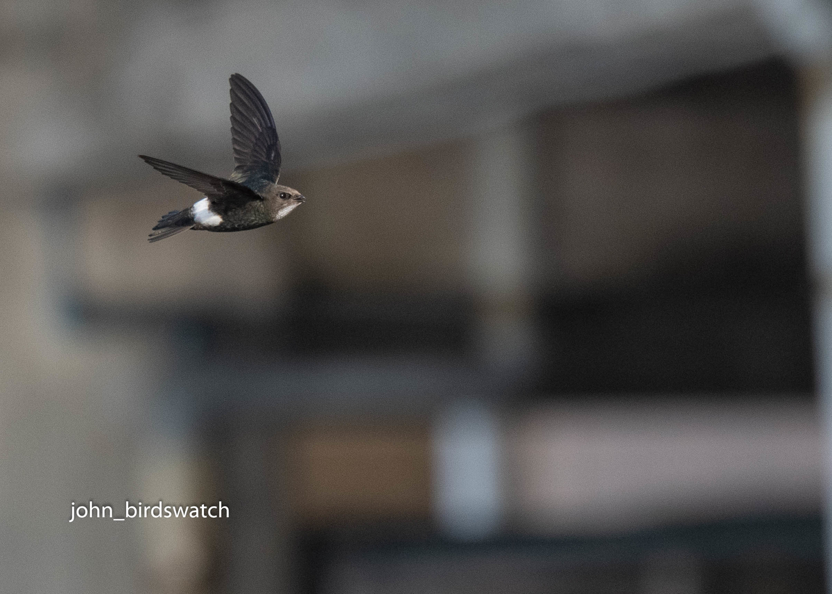 f:id:john_birdswatch:20190709215442j:plain