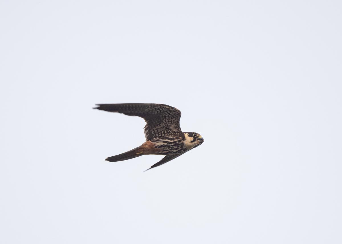 f:id:john_birdswatch:20191028221235j:plain