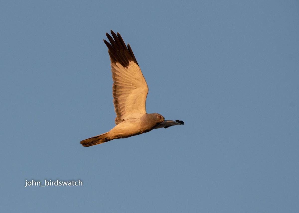 f:id:john_birdswatch:20200205210424j:plain