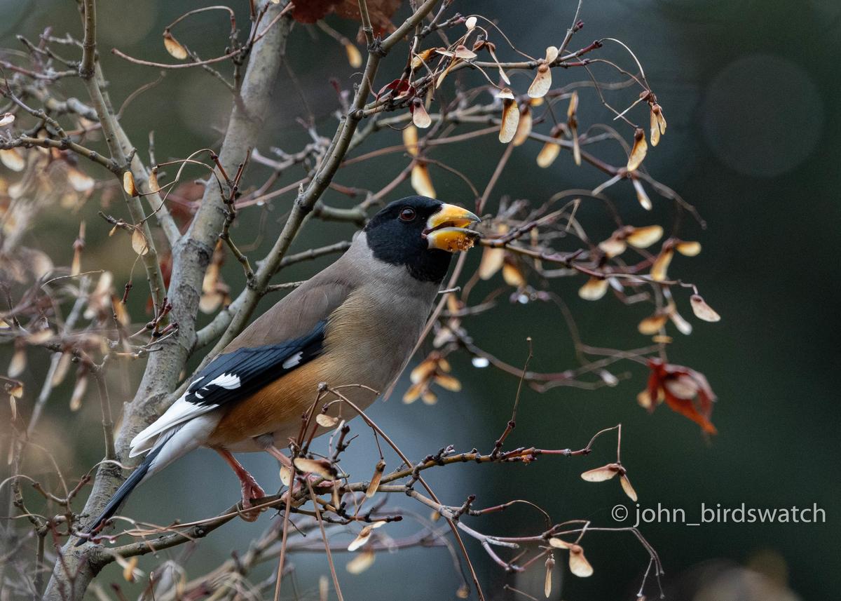 f:id:john_birdswatch:20200411100343j:plain