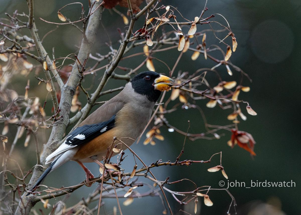 f:id:john_birdswatch:20200411100347j:plain