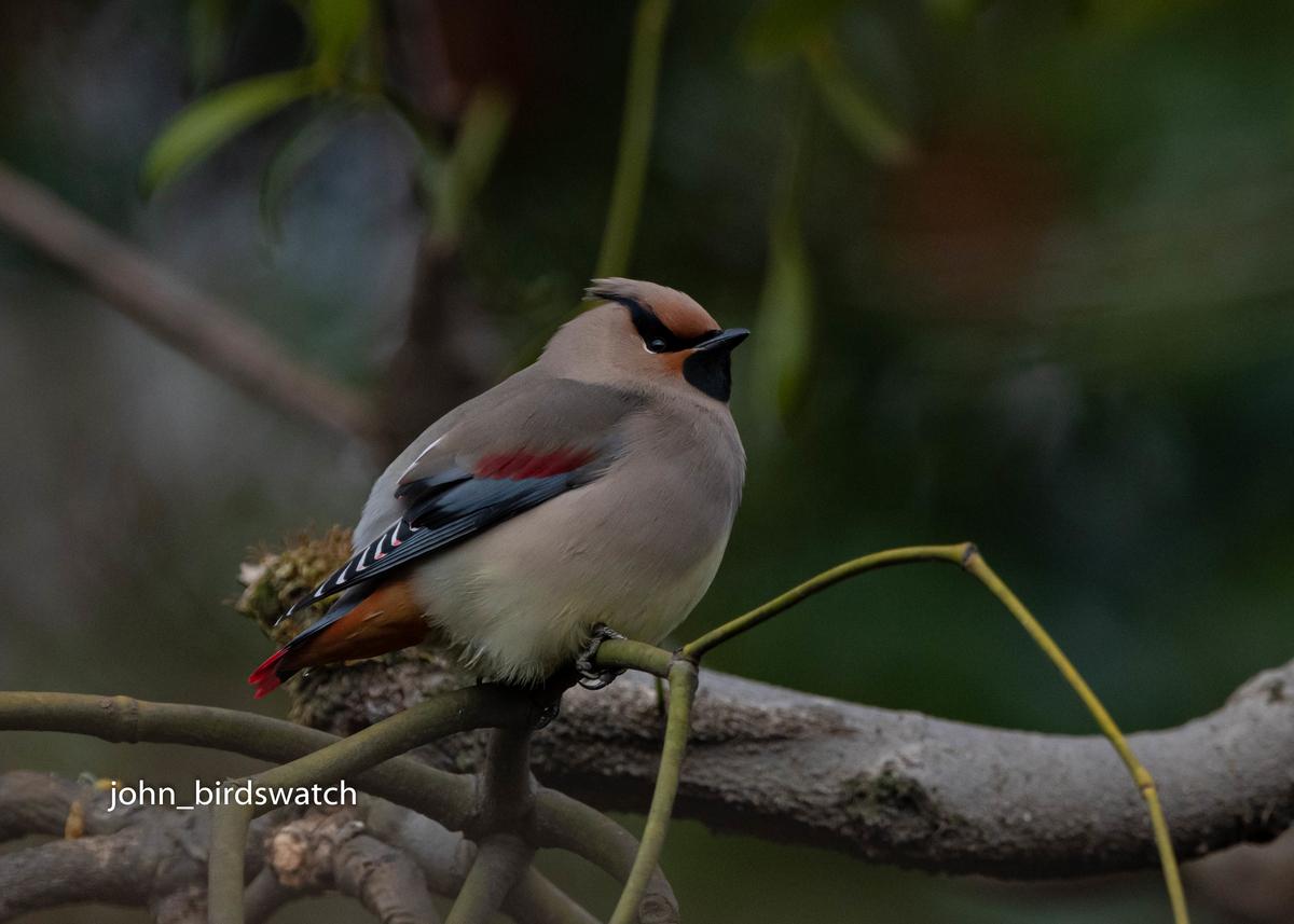 f:id:john_birdswatch:20200412100906j:plain