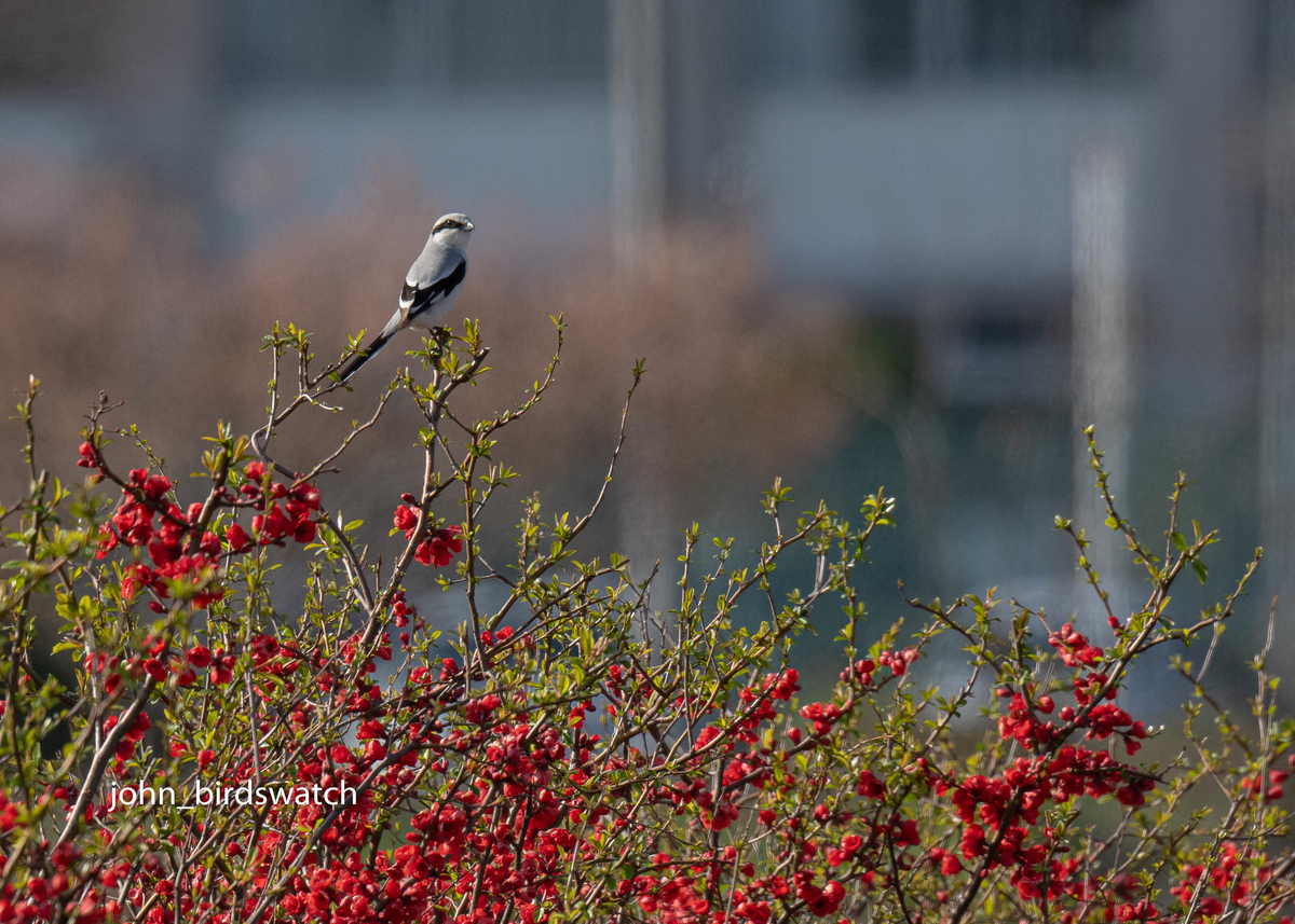 f:id:john_birdswatch:20200515182750j:plain