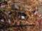 ツチハンミョウ