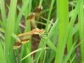[虫]ミヤマアカネ