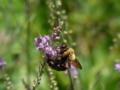 [虫]クマバチ