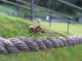 [虫]アキアカネ