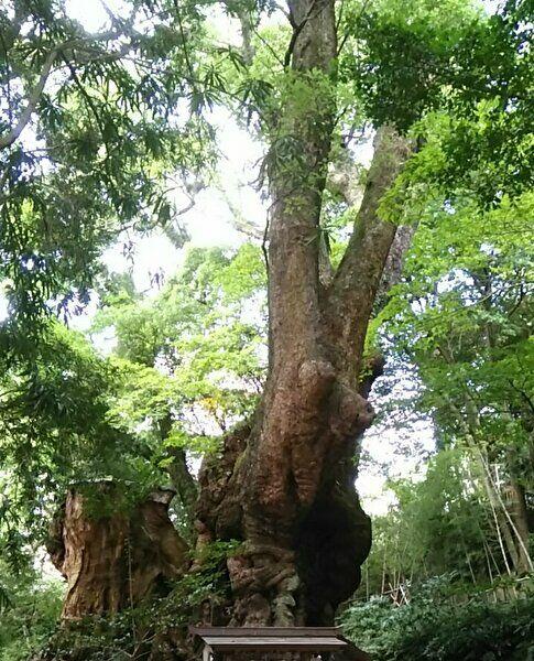 日本で2番目に大きい大楠の画像