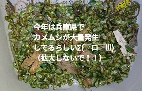 カメムシが兵庫県で大量発生(トップ)