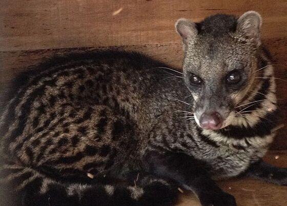 SARSの感染源と推定されているジャコウネコ
