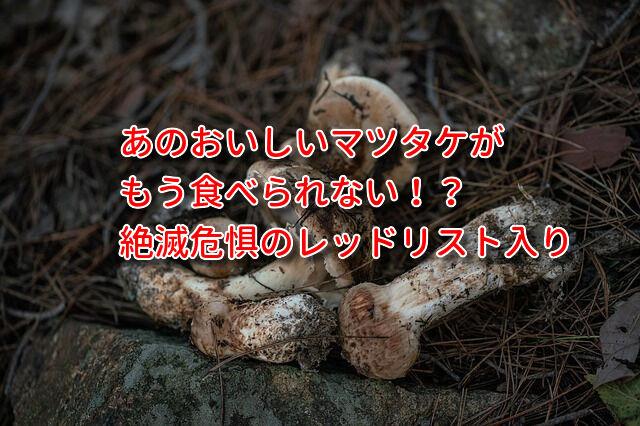 マツタケが絶滅危惧種のレッドリストに!食べられなくなる日も近い!?