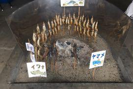 炉端の真ん中に置かれた炭の周りに鮎と岩魚、山女魚が串に打たれて焼かれている。