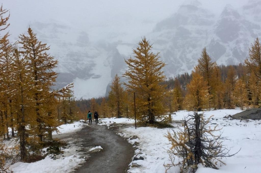 ラーチバレイの黄色く色づいたカラマツと雪が降って霞む山。