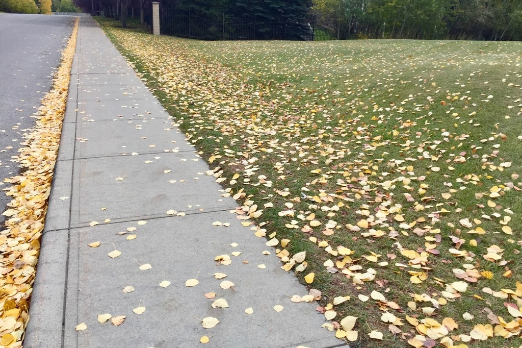 歩道とその右隣の空き地に黄色く色づいた落ち葉が広がっている。