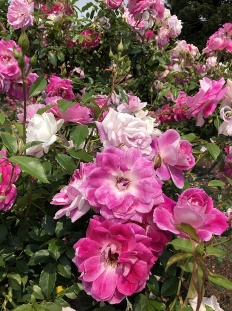 rosegargen