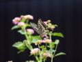 京都新聞写真コンテスト 蝶々とランタナ