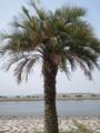 【2011/7/3】 葛西臨海公園⑤ 夏はヤシの木