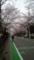【2013/3/24】 地元のサクラ