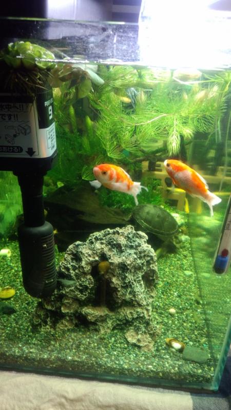 金魚も病気発症