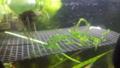 よ~く見ると水草にメダカの卵が・・・