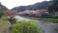川辺のサクラ並木