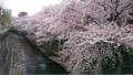 西新宿隅田川のサクラ④