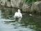 堺・大仙公園の白鷺